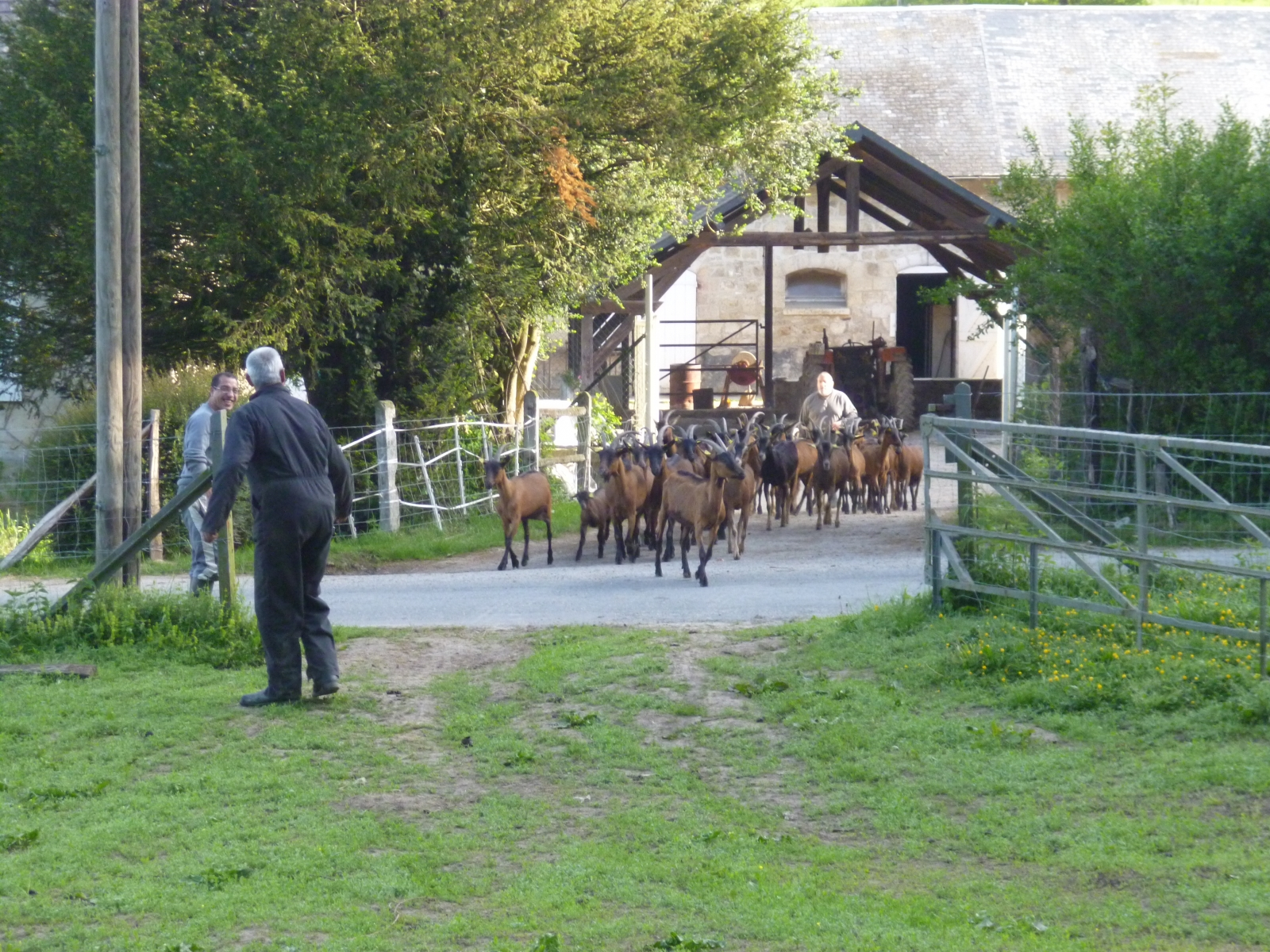 Sortie des chèvres