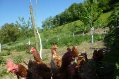 Les poules pondeuses