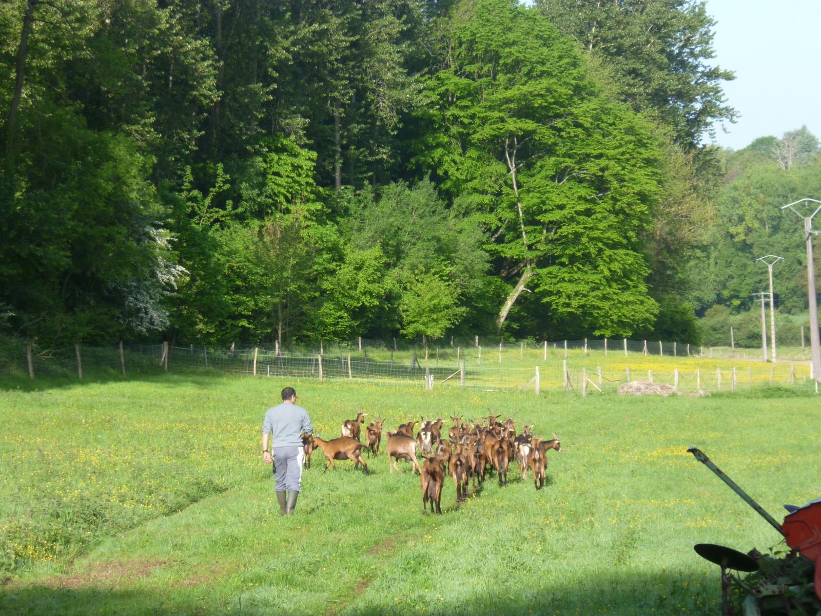 Chèvres en pature